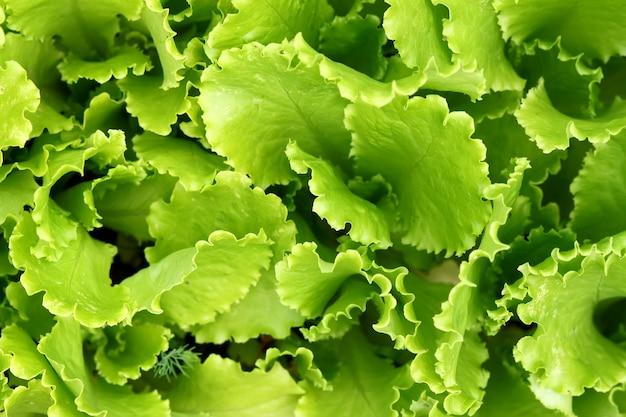 Crescita delle foglie dell'insalata delle piante verdi