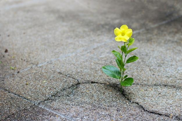 Crescita di fiori gialla sulla via della crepa, concetto di speranza