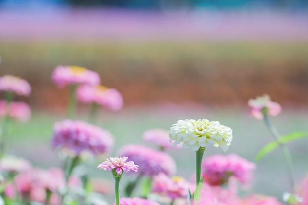 Crisantemi rosa e viola