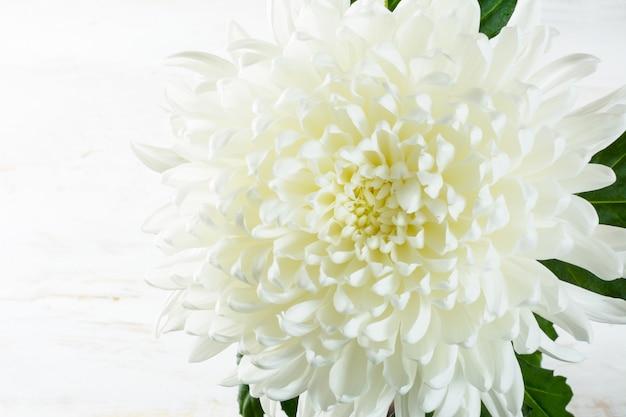 Crisantemo bianco su sfondo bianco