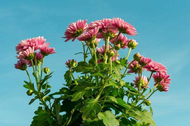 Crisantemo che fiorisce in autunno, contro il cielo blu