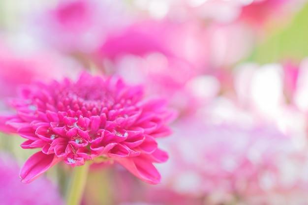 Crisantemo di fiori colorati realizzato con sfumatura per sfondo, astratto, texture, morbido e sfocato