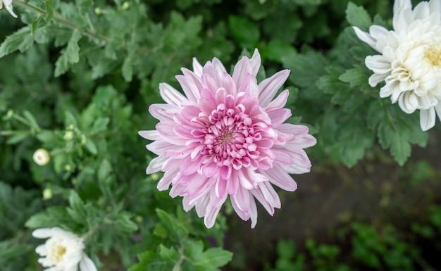 Crisantemo di fiori rosa in giardino coltivato per la vendita e per la visita.