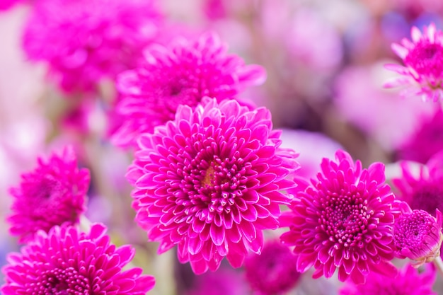 Crisantemo fiori colorati per lo sfondo