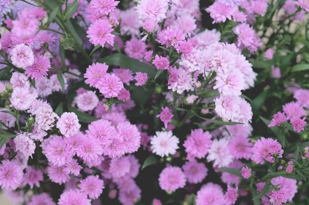 Crisantemo fiori colorati