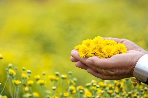 Crisantemo giallo fiore o dendranthema indicum l.