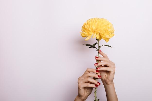 Crisantemo giallo in una mano femminile con manicure rosso