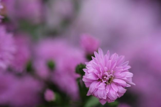 Crisantemo variopinto dei fiori fatto con il gradiente per fondo