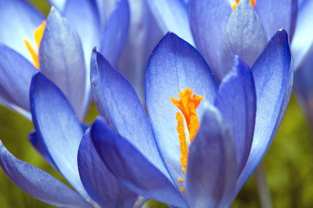 Croco delicatamente blu. cespuglio di croco. macro. la primavera fiorisce il fondo variopinto della natura
