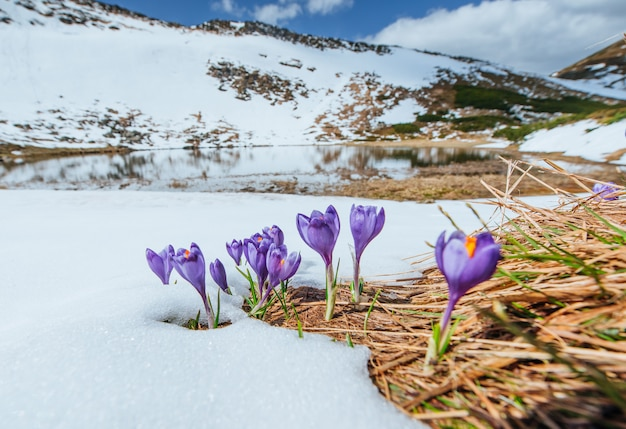Croco viola in fiore in montagna. carpazi, ucraina, europa
