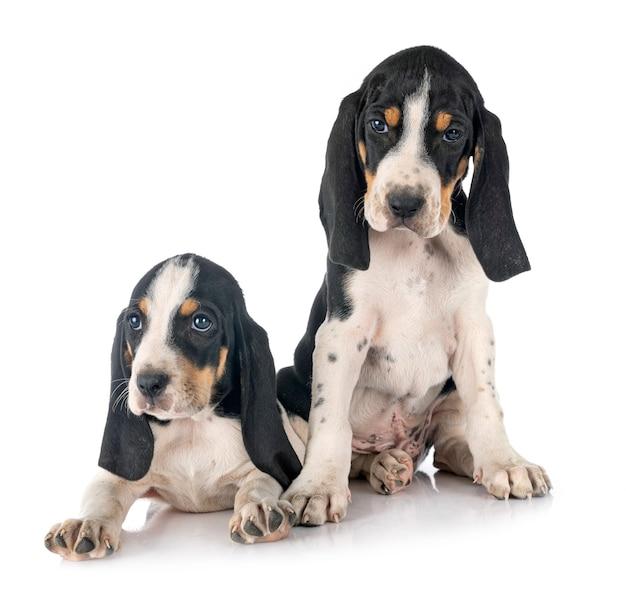 Cuccioli bernesi schweizer laufhund