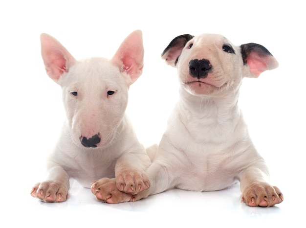 Cuccioli bull terrier