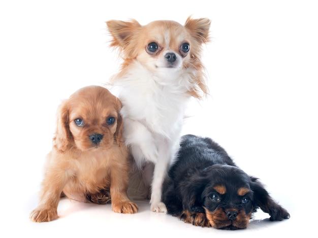 Cuccioli cavalier king charles e chihuahua