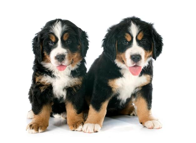 Cuccioli di cane bernese moutain