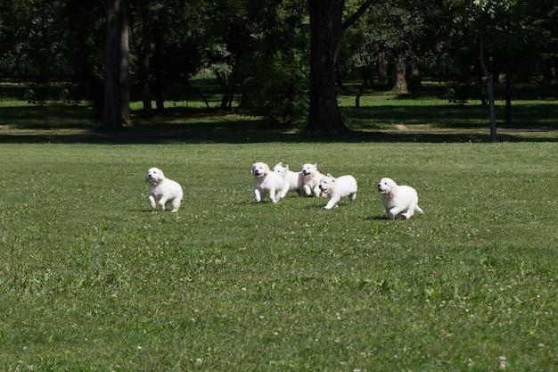 Cuccioli di puppy golden retriever in giro sul prato