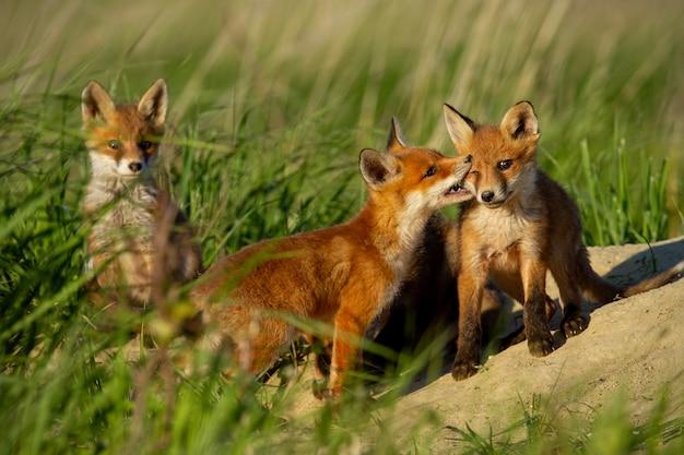 Cuccioli di volpe rossa che giocano vicino alla tana