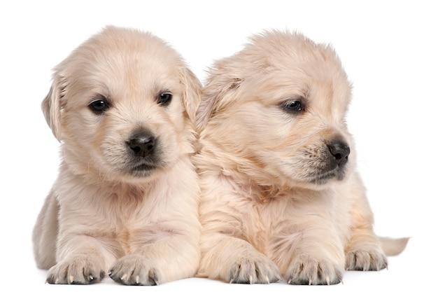 Cuccioli golden retriever, 4 settimane