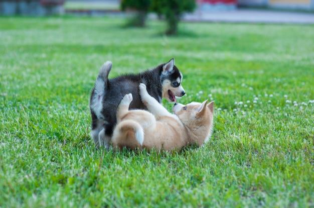 Cuccioli husky che giocano fuori, cucciolo nero e marrone incontrato. nessun proprietario ancora
