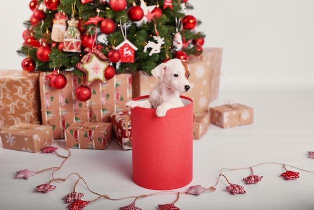 Cuccioli jack russell terrier nell'interno del nuovo anno