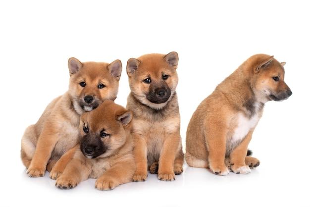 Cuccioli shiba inu davanti al bianco
