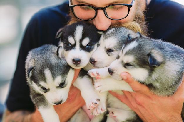 Cuccioli siberian husky. cucciolata nelle mani dell'allevatore. cuccioli