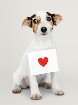 Cucciolo adorabile di jack russell retriever con una lettera di amore
