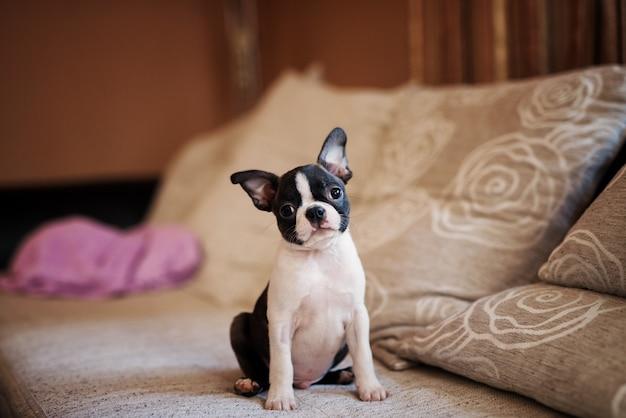 Cucciolo allegro che si siede sul divano. boston terrier.