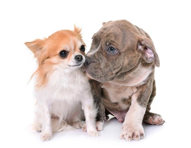 Cucciolo american staffordshire terrier e chihuahua
