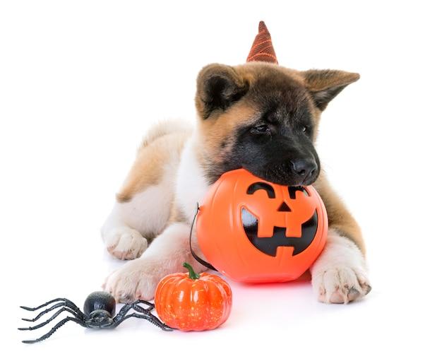 Cucciolo americano akita e halloween