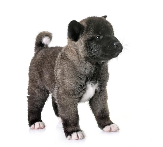 Cucciolo americano akita
