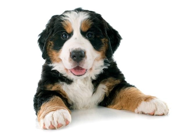 Cucciolo bernese cane moutain
