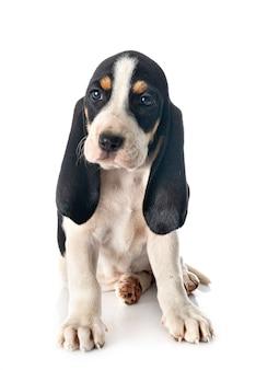 Cucciolo bernese schweizer laufhund davanti al bianco