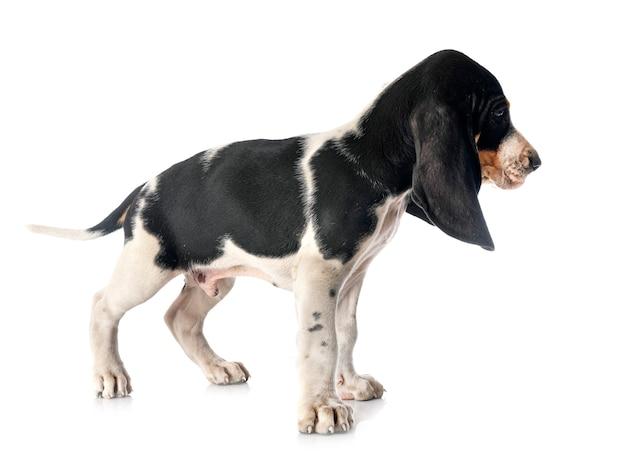 Cucciolo bernese schweizer laufhund