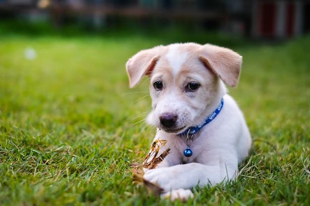Cucciolo bianco che gioca nel giardino verde.