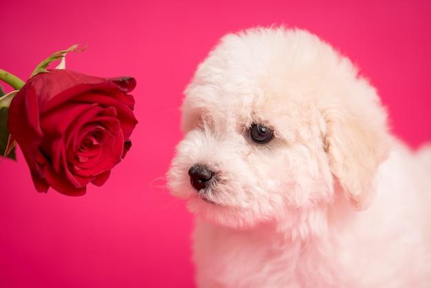 Cucciolo bianco di bichon su uno sfondo rosa con fiori.