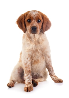 Cucciolo brittany spaniel
