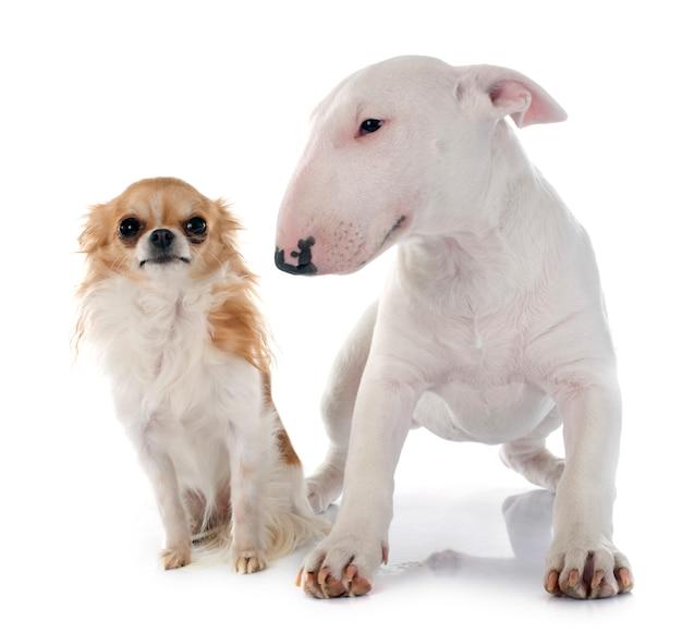 Cucciolo bull terrier e cane chihuahua