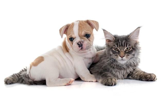 Cucciolo bulldog francese e gatto