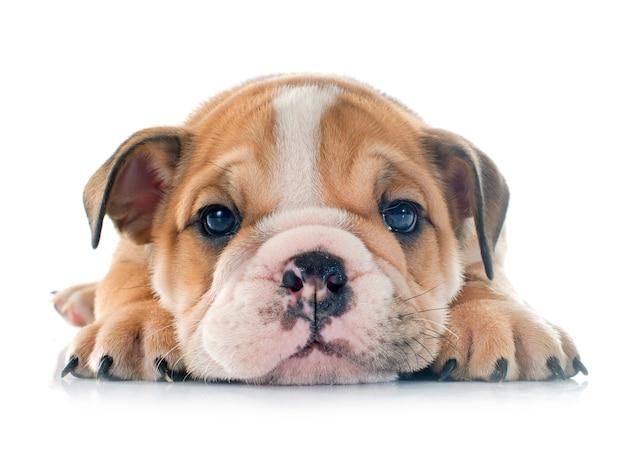 Cucciolo bulldog inglese