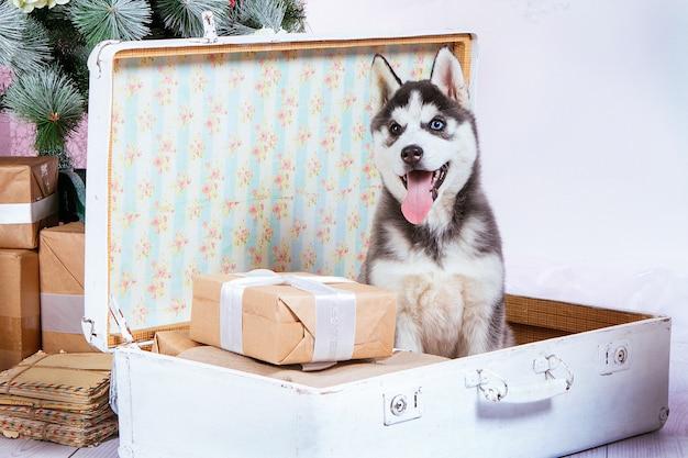 Cucciolo con gli occhi blu e marrone e con la lingua sporgente si siede in una valigia