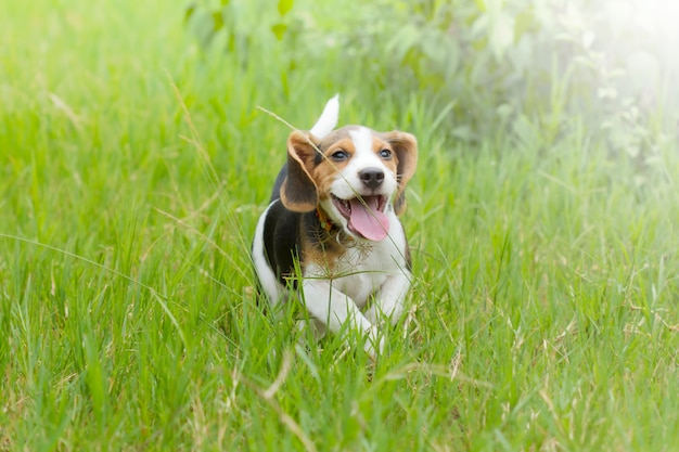 Cucciolo del cane da lepre (segugio) che corre sull'erba verde intenso
