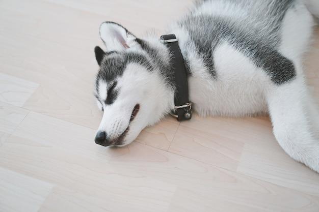 Cucciolo del husky siberiano che dorme sul pavimento
