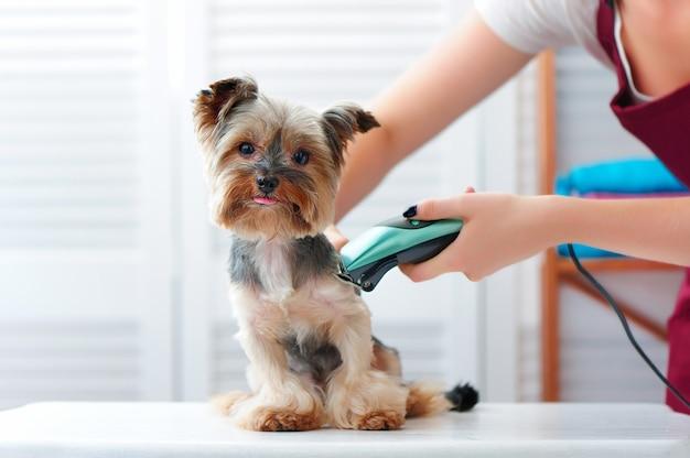 Cucciolo dell'yorkshire terrier che ottiene taglio di capelli con una rasatrice