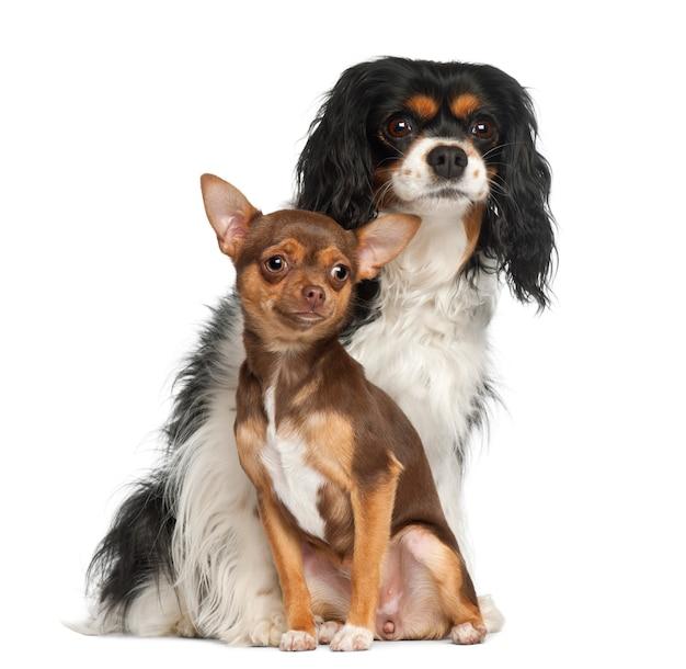 Cucciolo della chihuahua e re sprezzante charles spaniel che si siede contro il fondo bianco