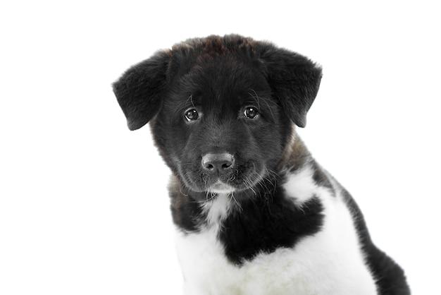 Cucciolo di akita americano con pelliccia morbida e soffice