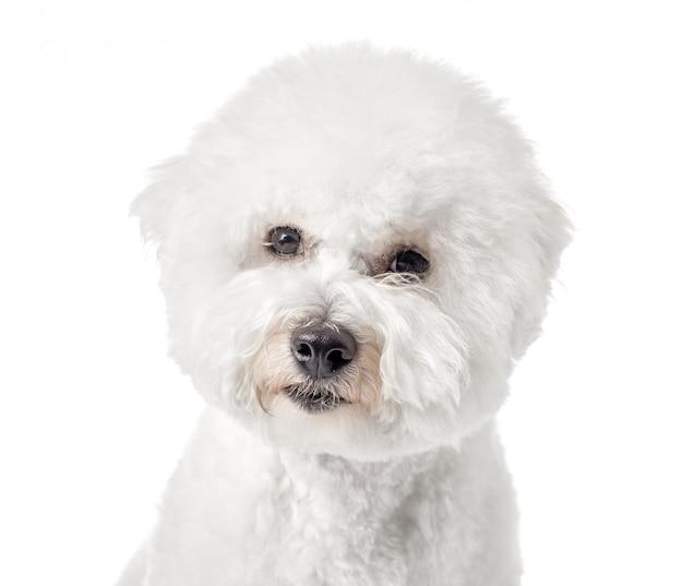 Cucciolo di bichon frise su una priorità bassa bianca