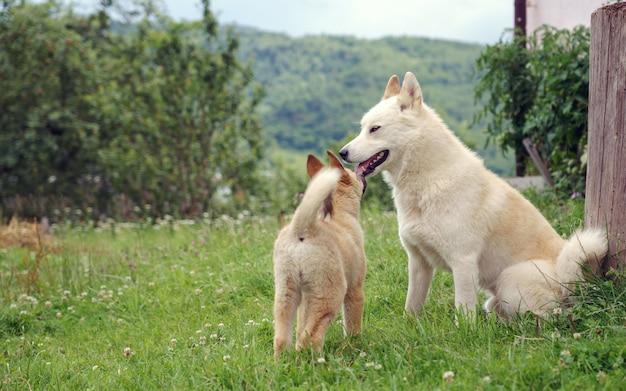 Cucciolo di biege laika che bighellona con il cane adulto