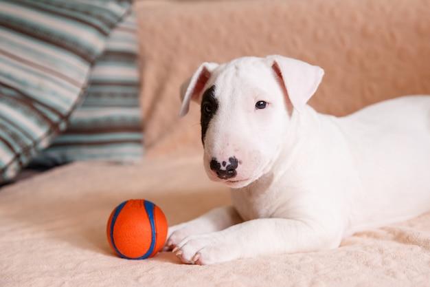 Cucciolo di bull terrier bianco seduto sul divano