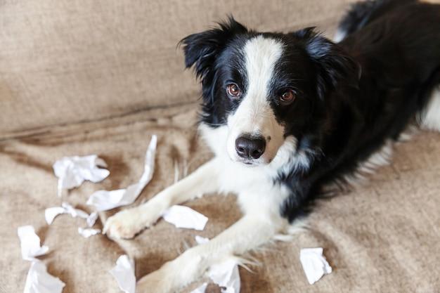 Cucciolo di cane allegro impertinente border collie dopo la carta igienica mordace del malizia che si trova sullo strato a casa. cane colpevole e soggiorno distrutto. danneggia la casa e il cucciolo disordinati con un divertente aspetto colpevole.