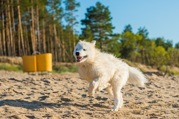 Cucciolo di cane bianco samoiedo cammina vicino all'acqua sulla riva del mar baltico